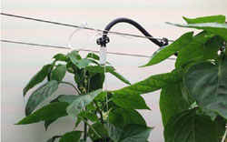 Maximizing growth of bell pepper plants by optimizing climate conditions through infrared temperature solutions